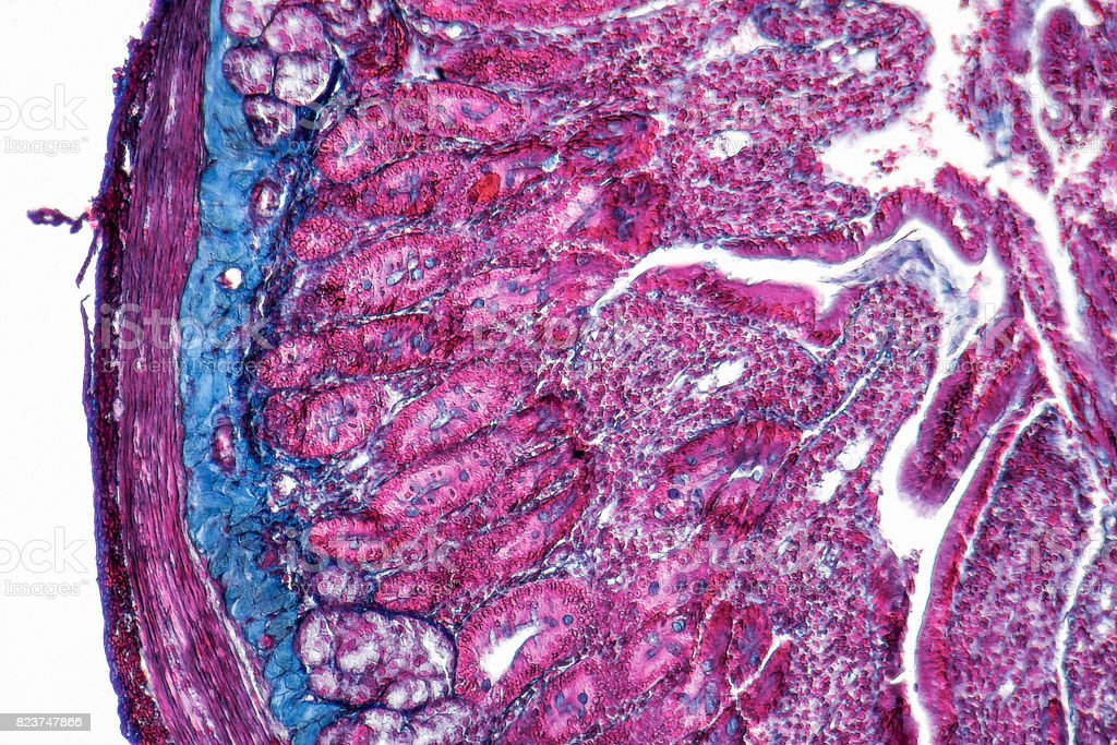 duodenum cross section stock photo
