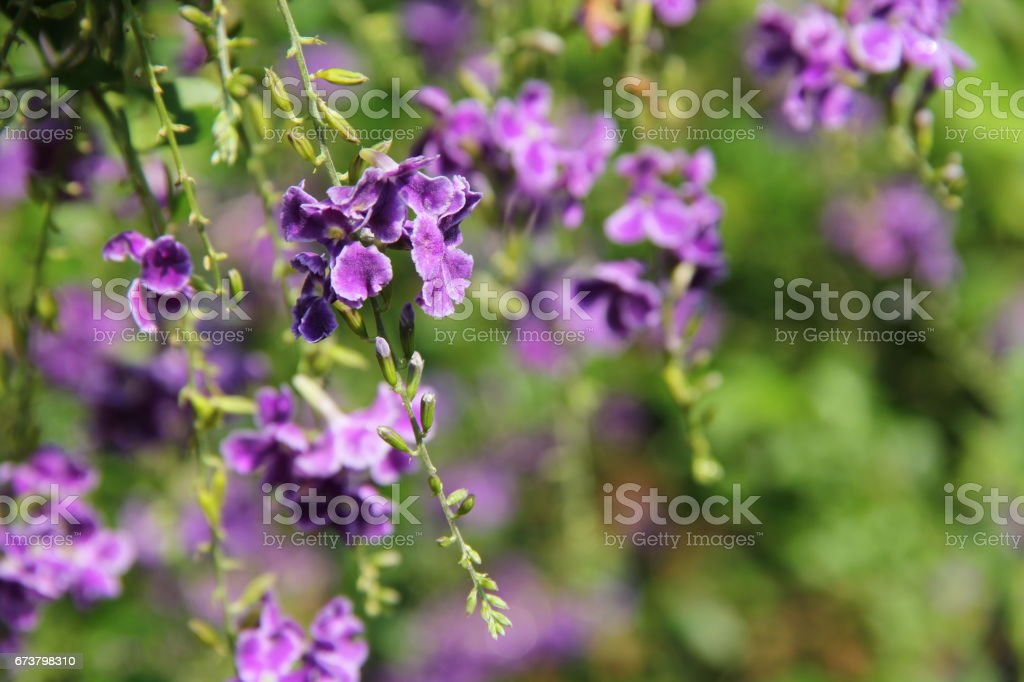 Duranta repens flower stock photo