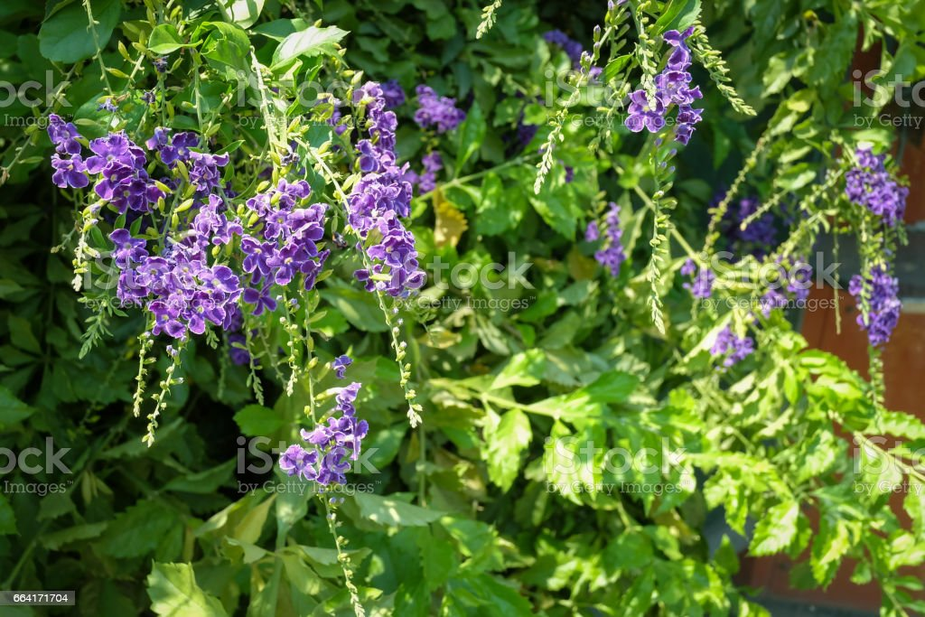 Duranta repens Sky flower stock photo