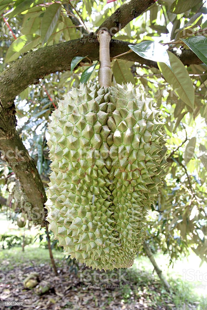 Durian on the tree. royalty-free stock photo
