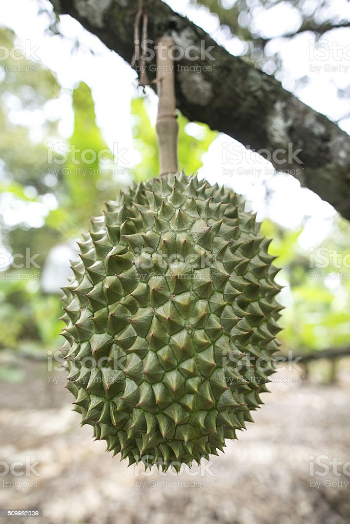 Durian tree stock photo
