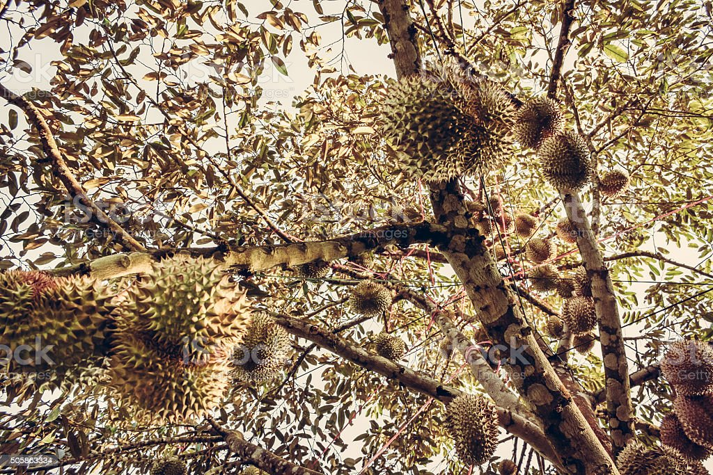Durians fruits on the branch stock photo