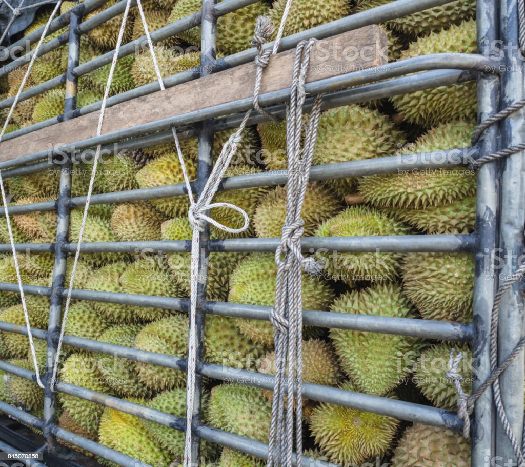 Durians (king of fruit) in stock rack and tied with ropes. stock photo