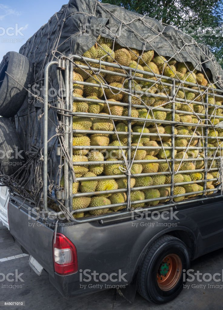 Durians (king of fruit) in stock rack of truck/pickup were transported between the provinces in asia/thailand. stock photo
