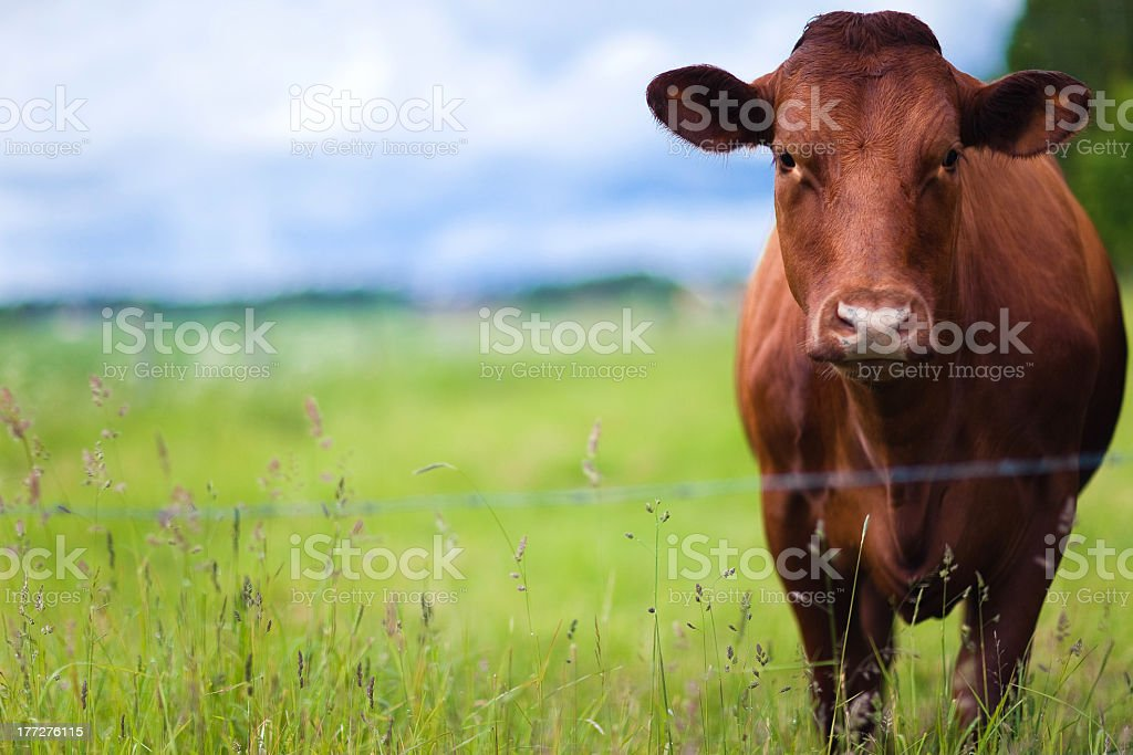 During the day a brown cow rests on the farm pastures  stock photo