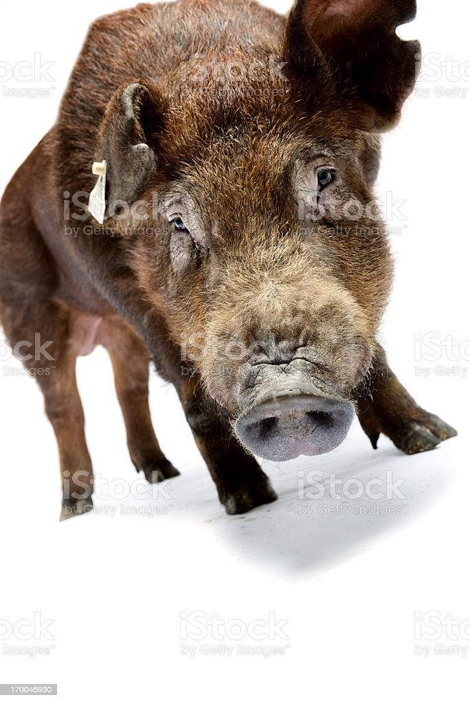 Duroc Pig royalty-free stock photo