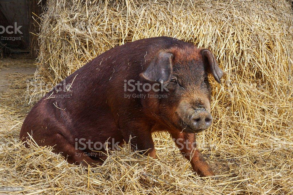 Duroc pig stock photo
