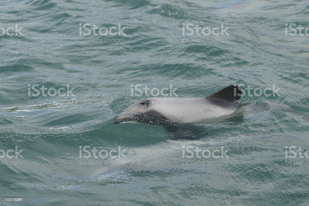 Dusky dolphin in the water. royalty-free stock photo