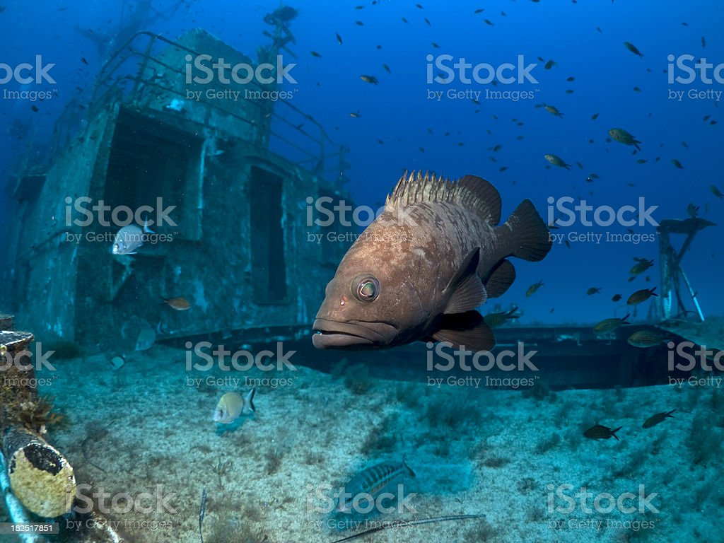 Dusky grouper on a shipwreck royalty-free stock photo