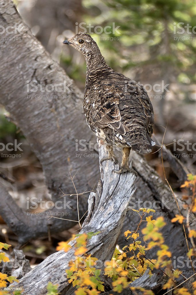 Dusky grouse fall colors Indian Peaks Wilderness Colorado stock photo