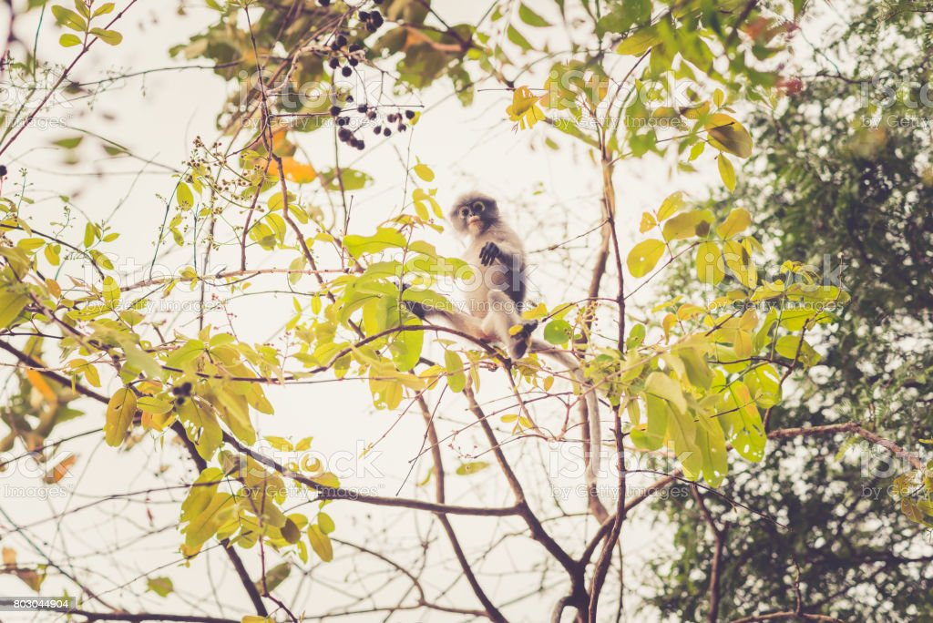 Dusky leaf monkey in the foliage of a tree stock photo