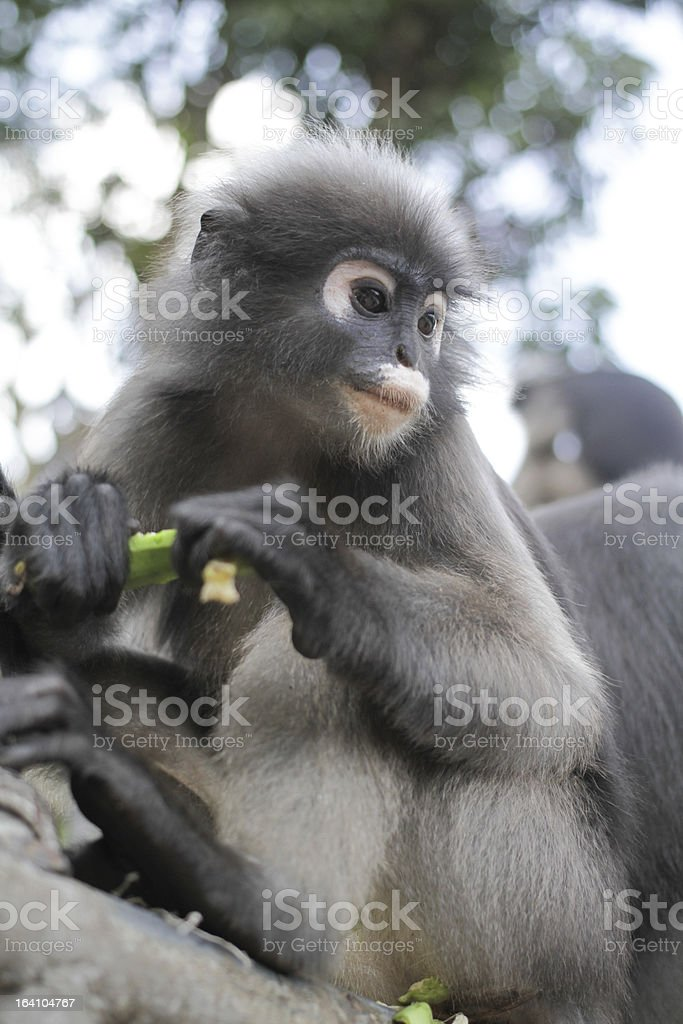 Dusky Leaf Monkey royalty-free stock photo