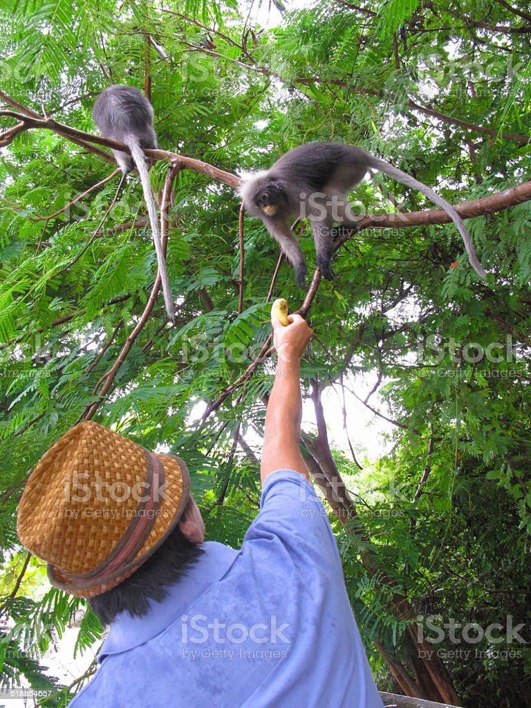 Dusky leaf monkey zbiór zdjęć royalty-free
