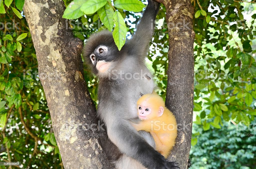 Dusky leaf monkey with baby. stock photo