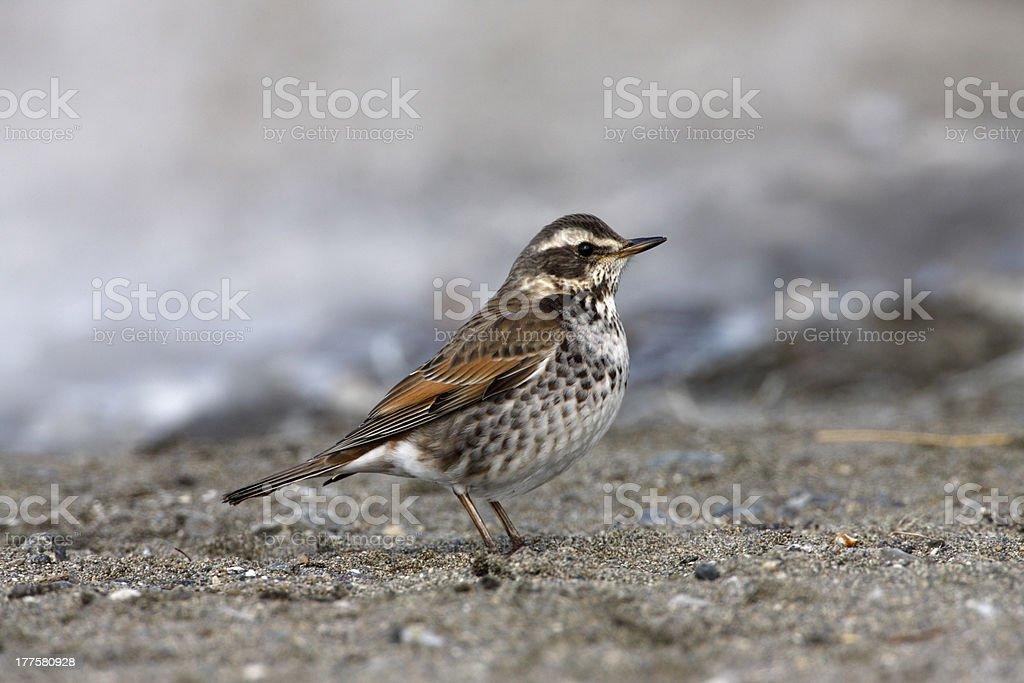 Dusky thrush, Turdus naumanni stock photo