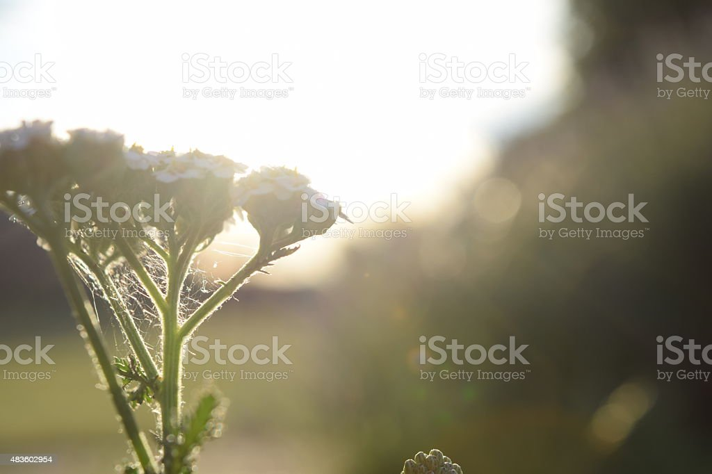 Dusty Flower in the sun royalty-free stock photo