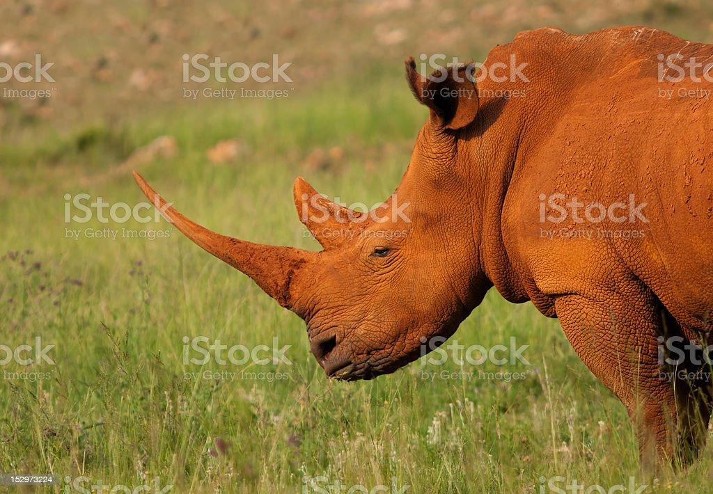 Dusty biały Nosorożce zbiór zdjęć royalty-free