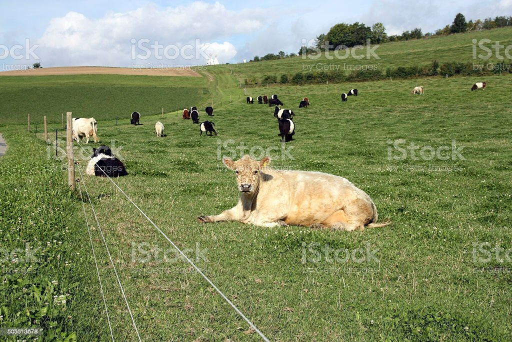 Dutch belted cows stock photo