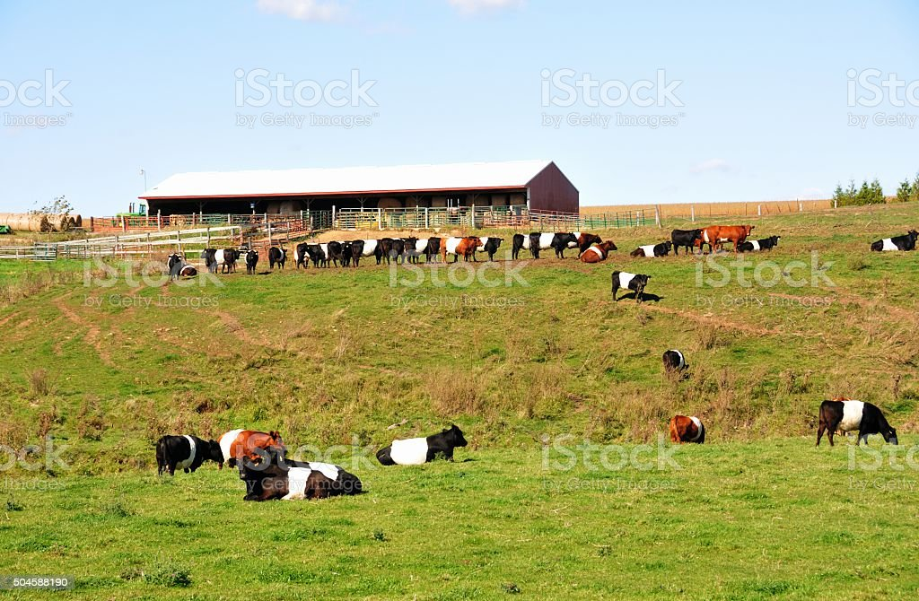 Dutch Belted stock photo