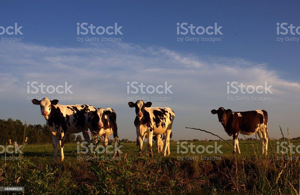 Dutch calfs in the evening sun stock photo