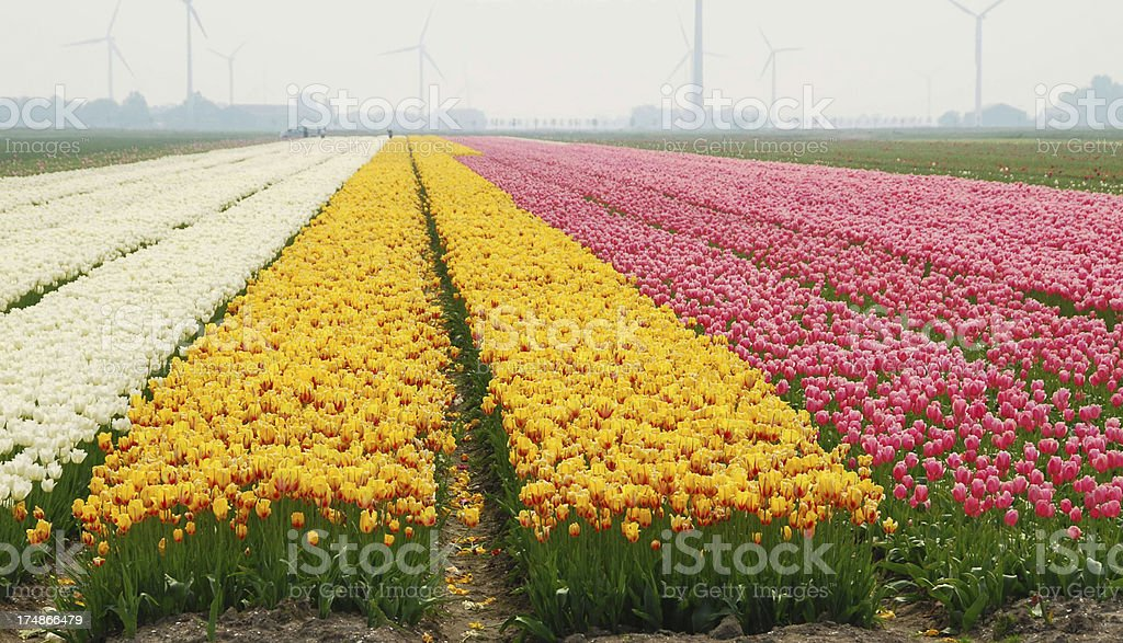 Dutch colourful Tulip fields. royalty-free stock photo