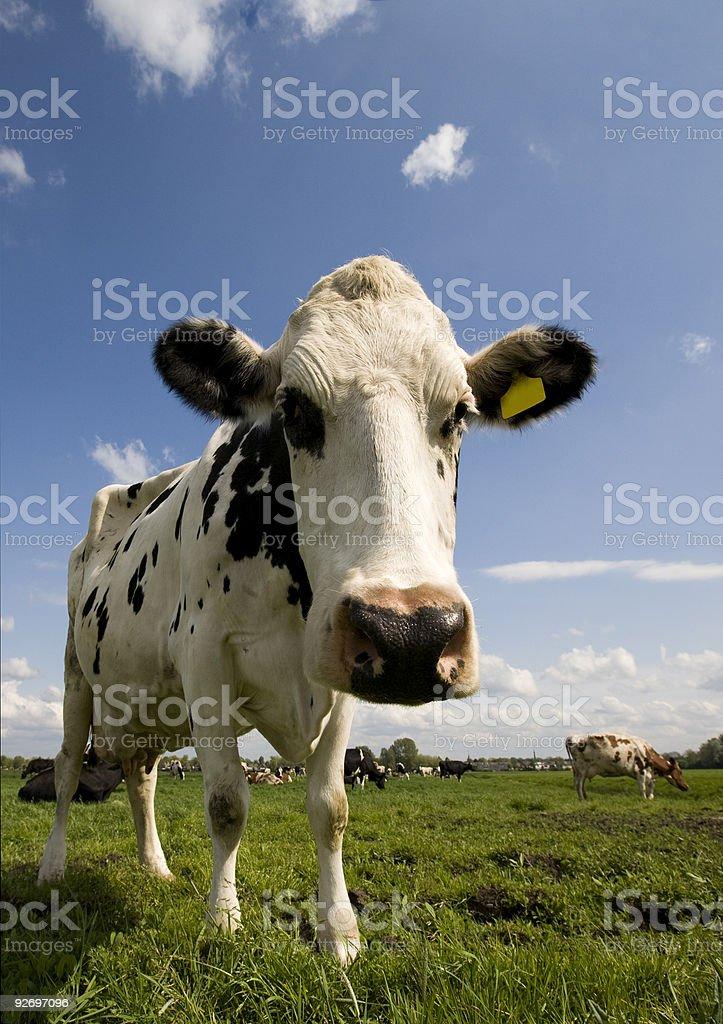 Dutch cow stock photo