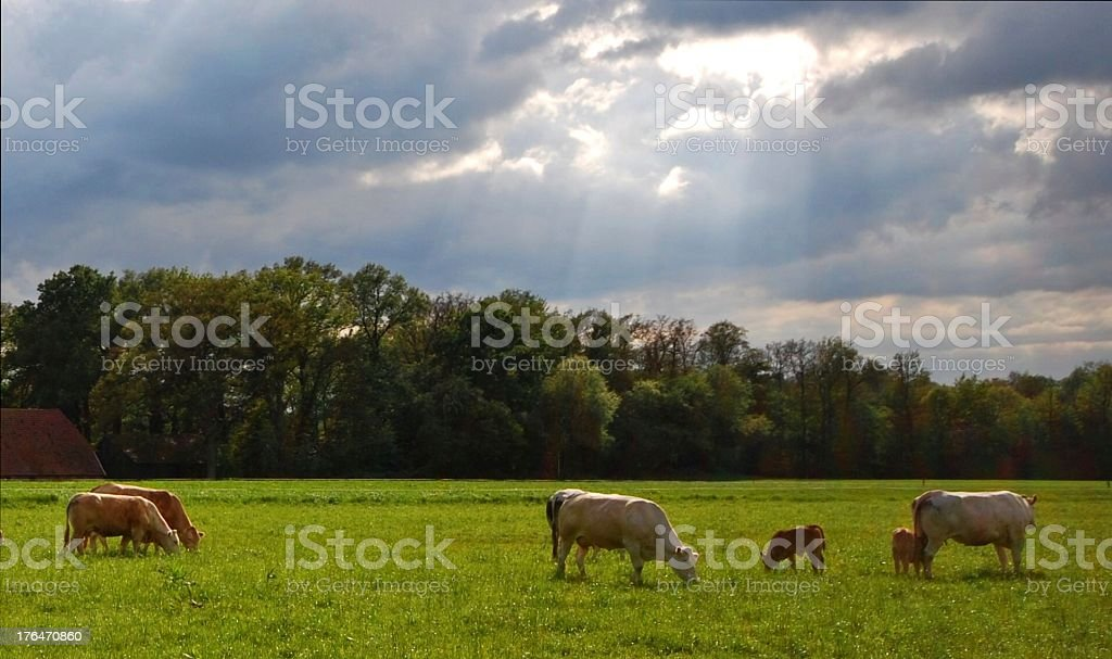 Dutch cows grazing in the pasture stock photo
