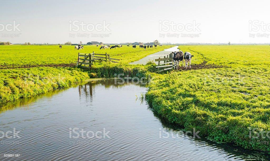 Dutch cows in a polder landscape stock photo