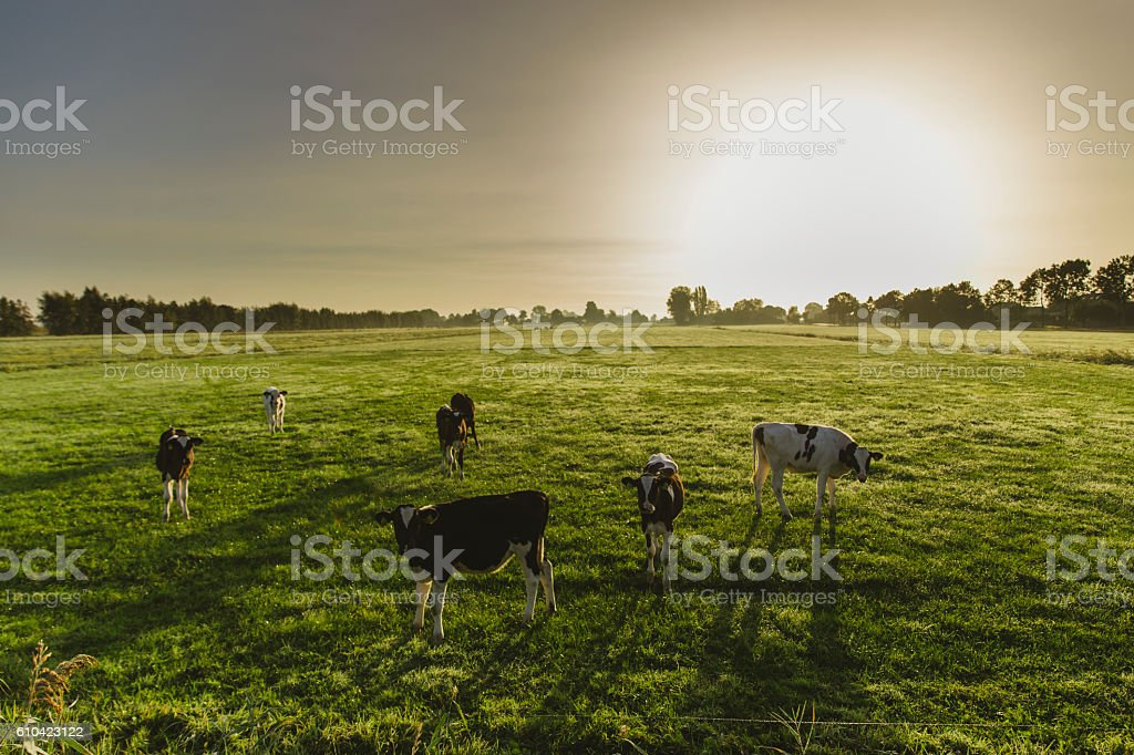 Dutch cows in the meadows stock photo