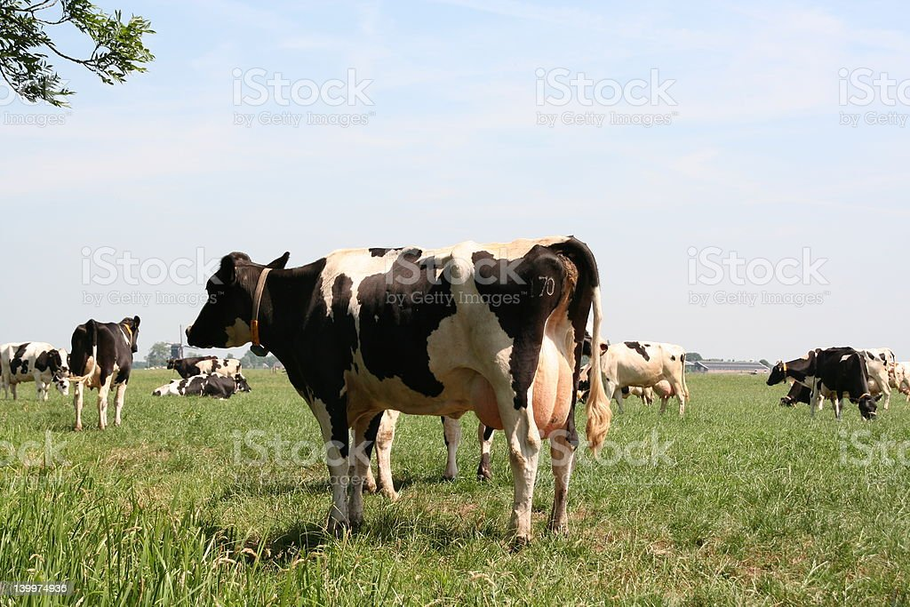 Dutch cows stock photo