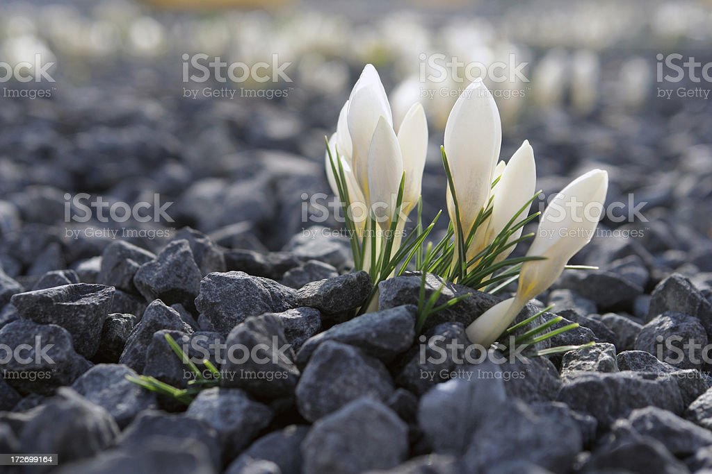 Dutch Crocus growing in crushed rock flower bed. royalty-free stock photo