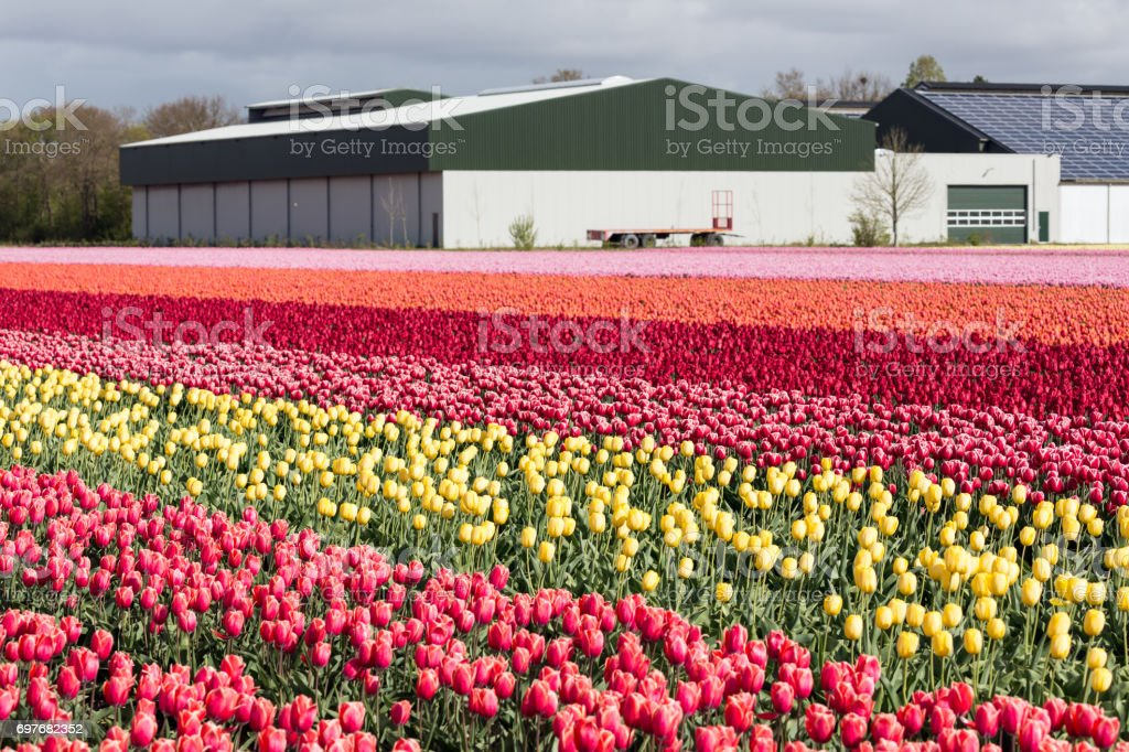 Dutch farmland with barn and colorful tulip field stock photo