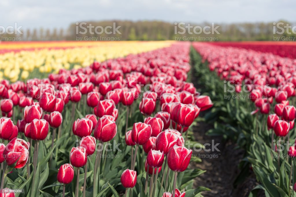 Dutch farmland with colorful tulip fields  photographed with selective focus stock photo