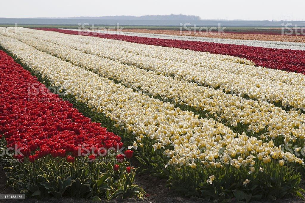 Dutch flowerfields royalty-free stock photo