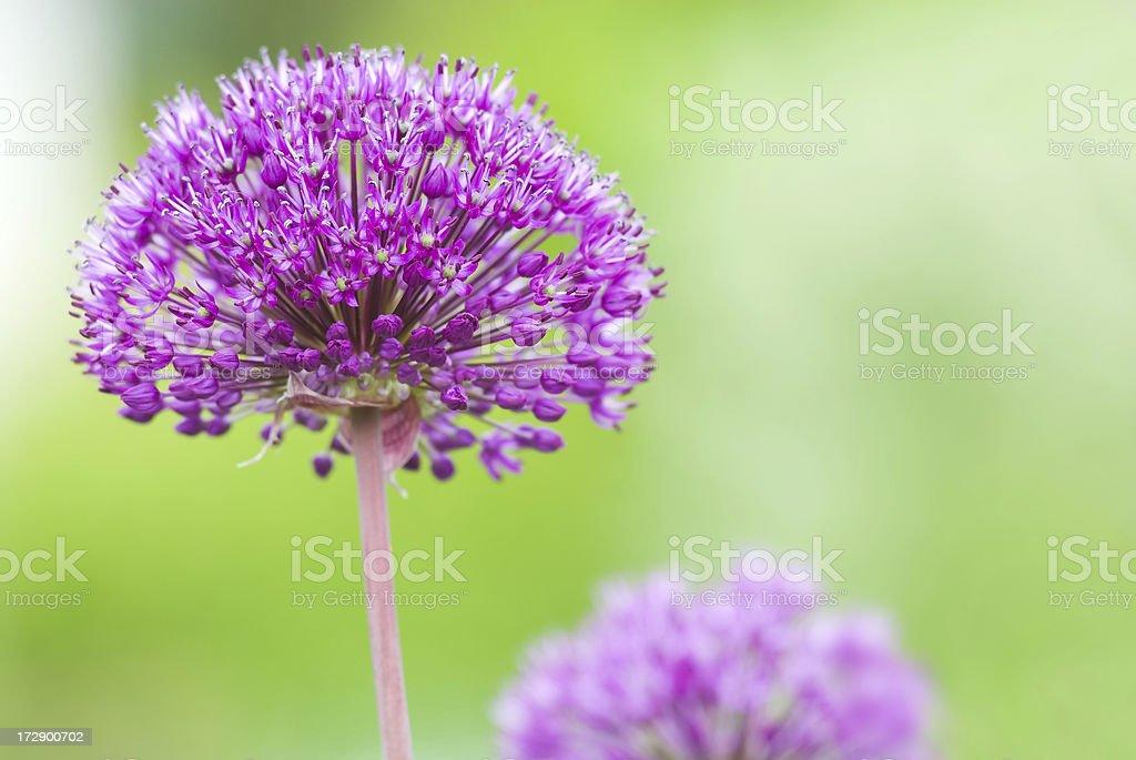 Dutch garlic royalty-free stock photo