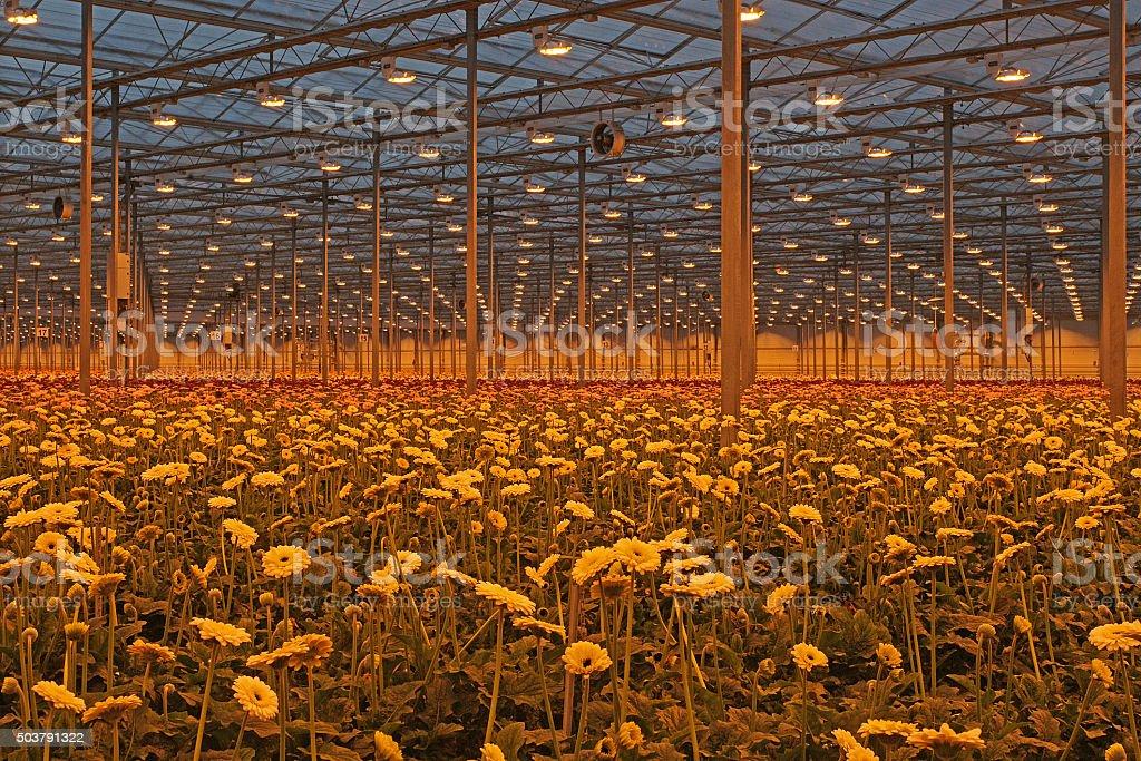 Dutch greenhouse with modern gerbera crop under growthlight stock photo