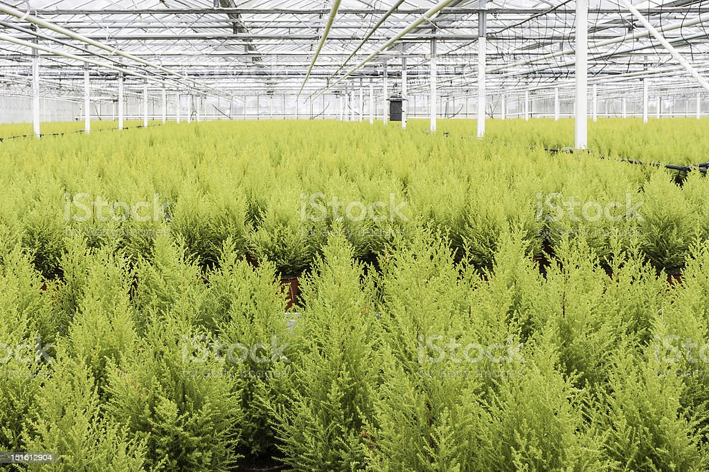 Dutch horticulture with cypresses in a greenhouse royalty-free stock photo