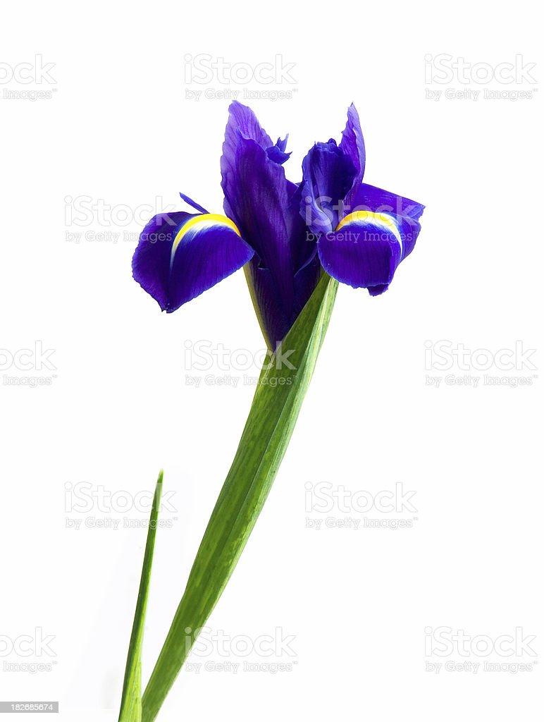 Dutch Iris royalty-free stock photo