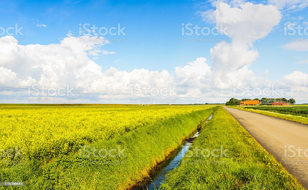 Dutch landscape with a field of yellow blooming rapeseed plants stock photo