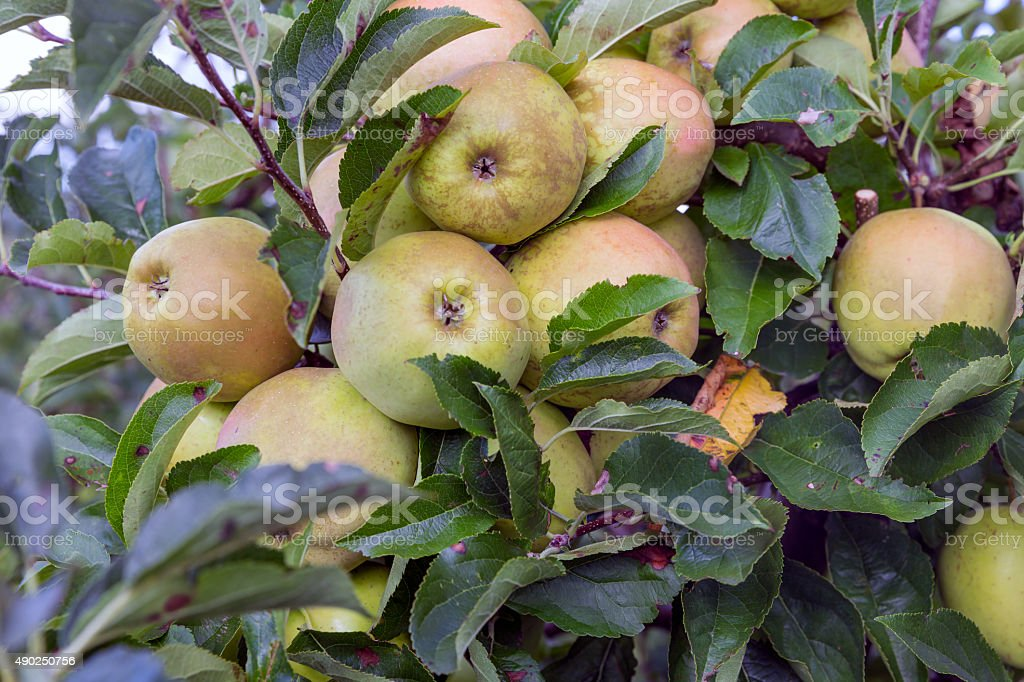 Dutch orchard with big maturing apples stock photo