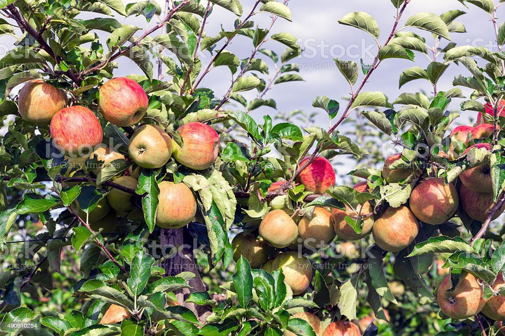 Dutch orchard with maturing apples stock photo