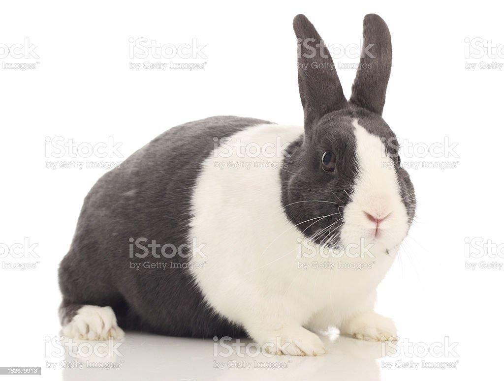Dutch rabbit royalty-free stock photo