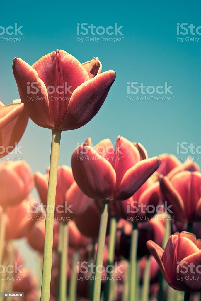 Dutch Red Tulips Close Up royalty-free stock photo
