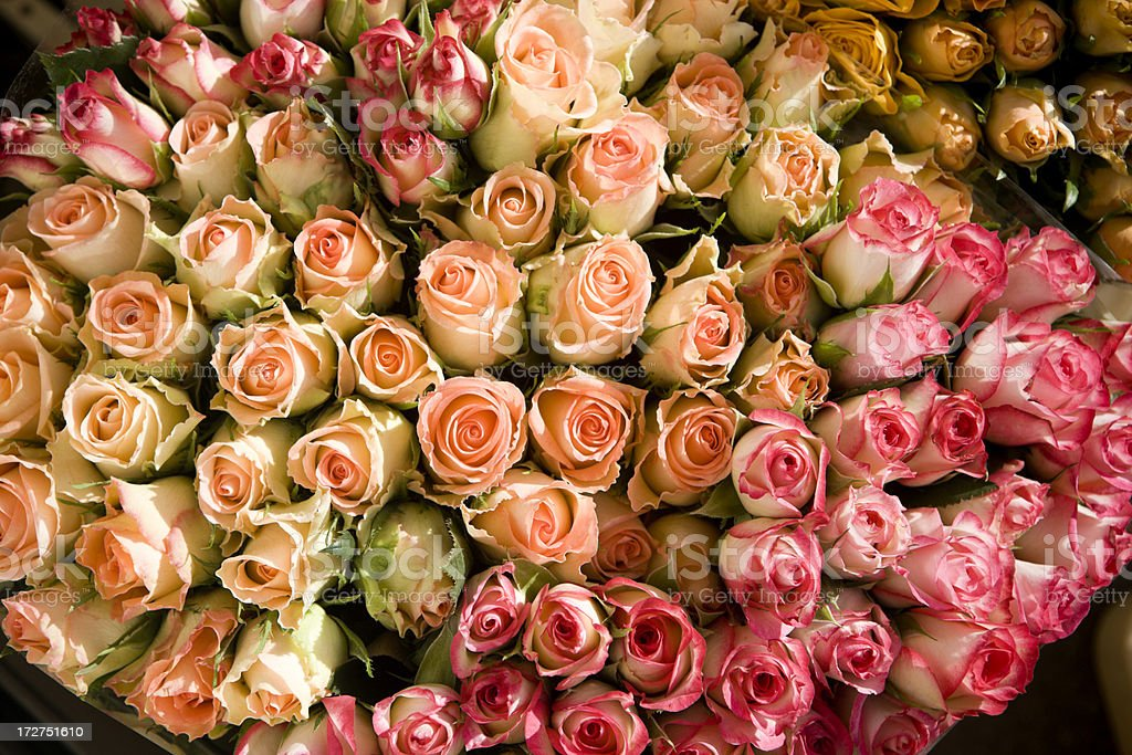 Dutch Roses royalty-free stock photo