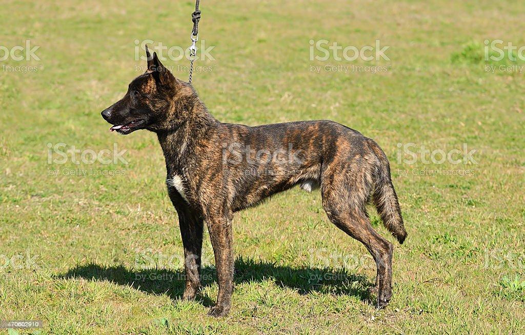 Dutch shepherd dog in field stock photo