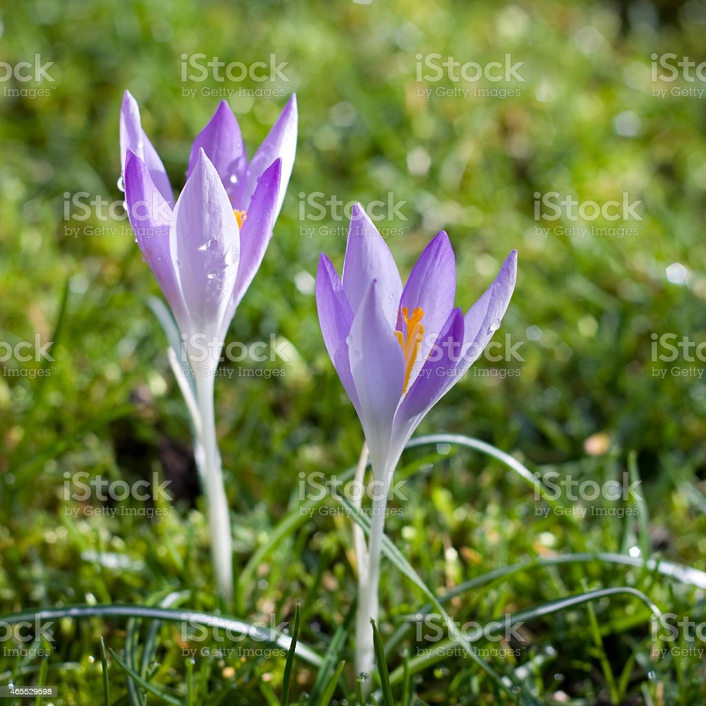 Dutch spring crocus flowers stock photo