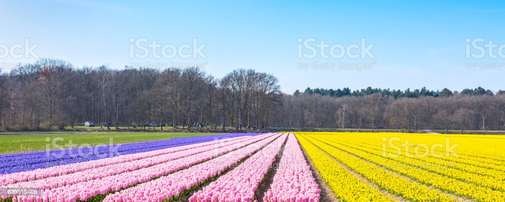 Dutch spring Hyacinth field colorful flower panorama background stock photo