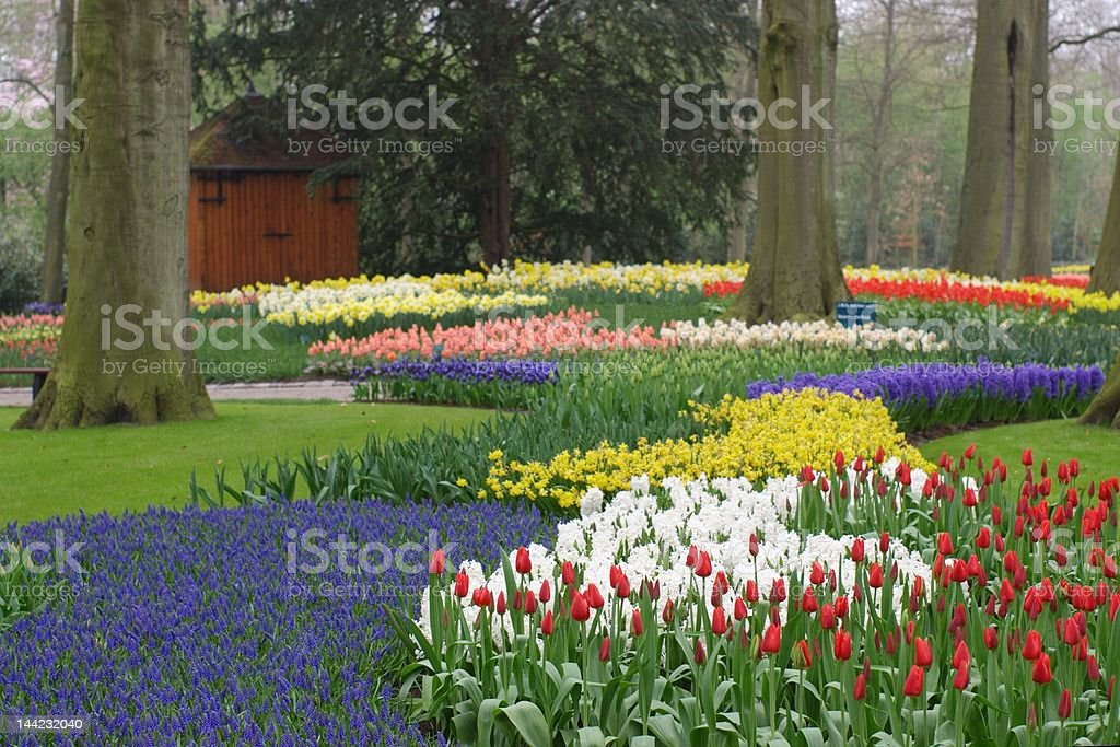 dutch tulip garden royalty-free stock photo