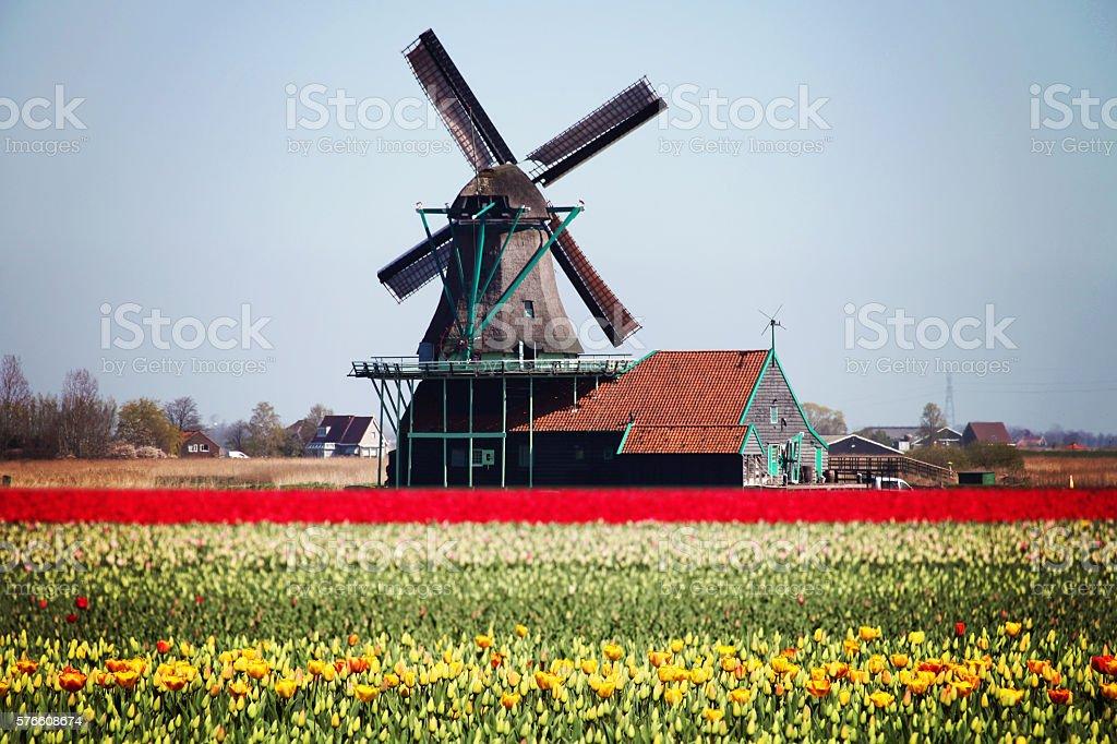 Dutch windmill tulip flowers field spring, Netherlands stock photo