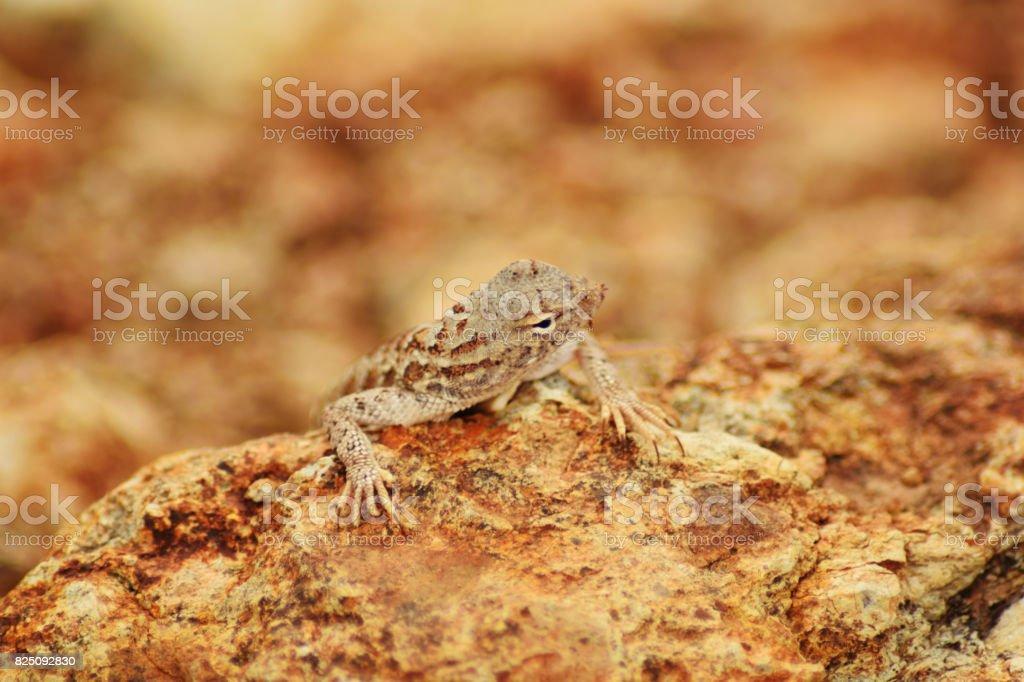 duvious lizard stock photo